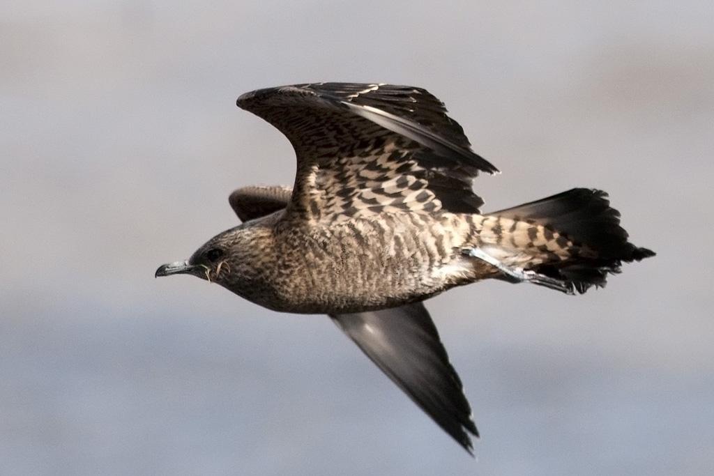 Fotos Birds Europe Gulls Sandgrouses Skuas Kjover